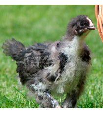 Pollito de hasta 6 semanas Biblue