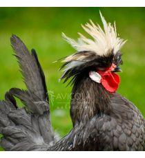 Gallo Holandesa Moñuda