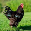 Gallo Croad Lashang