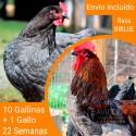 Oferta 10 Biblue ® + Gallo Portes incluidos