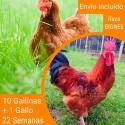 Oferta 10 Bignee ® + Gallo Portes incluidos