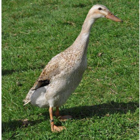Pato Corredor indio Hembra