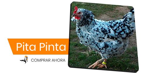 Pita Pinta Asturiana